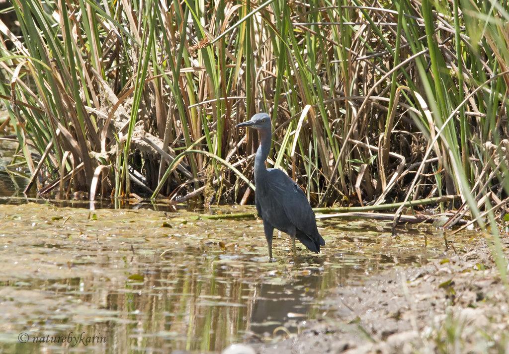 Slaty Egret