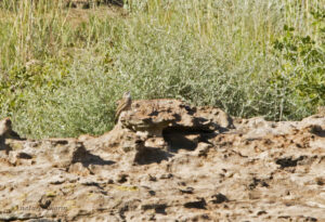African Rock Pipit