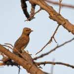 Red-throated Wryneck