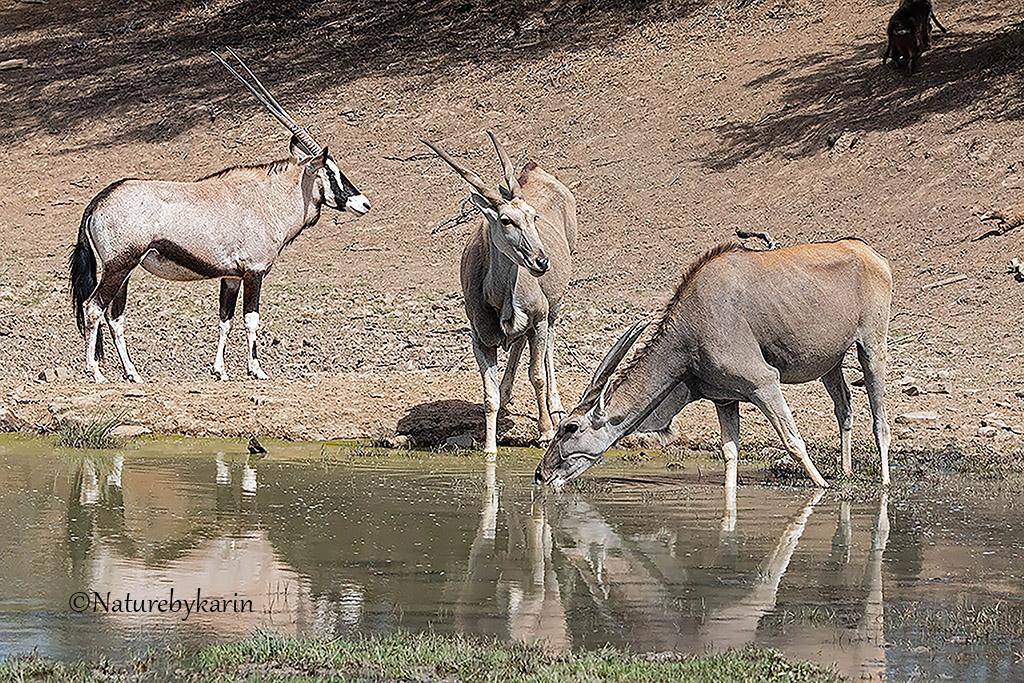 Gemsbok Eland