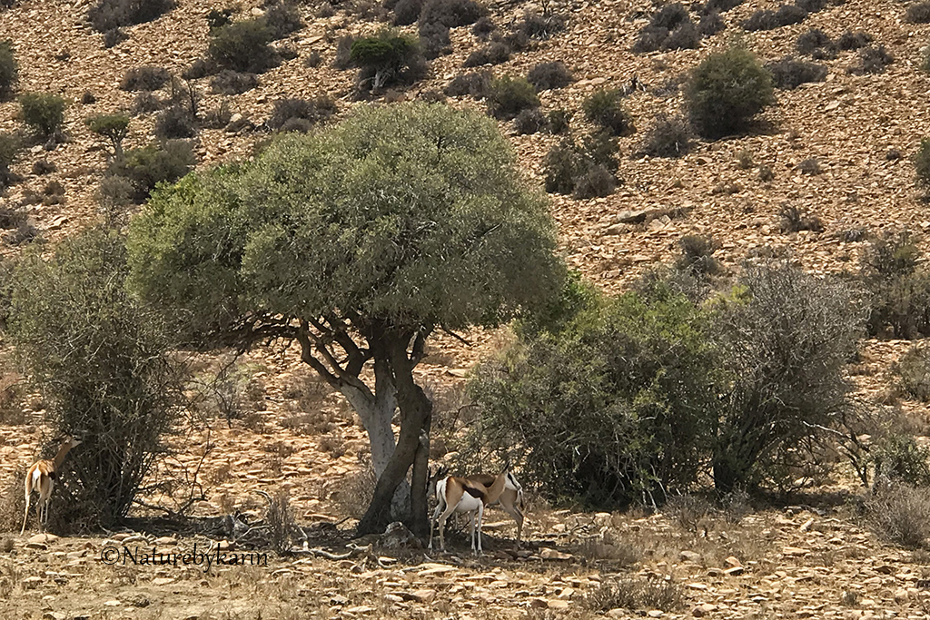 Shephards tree