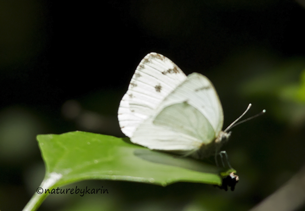 African Small White