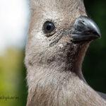 Grey Go_away bird