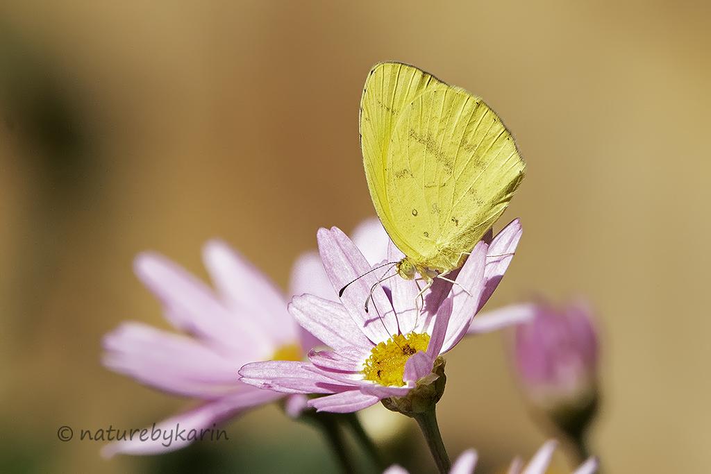 Broad bordered Grass Yellow