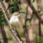 White bellied sunbird