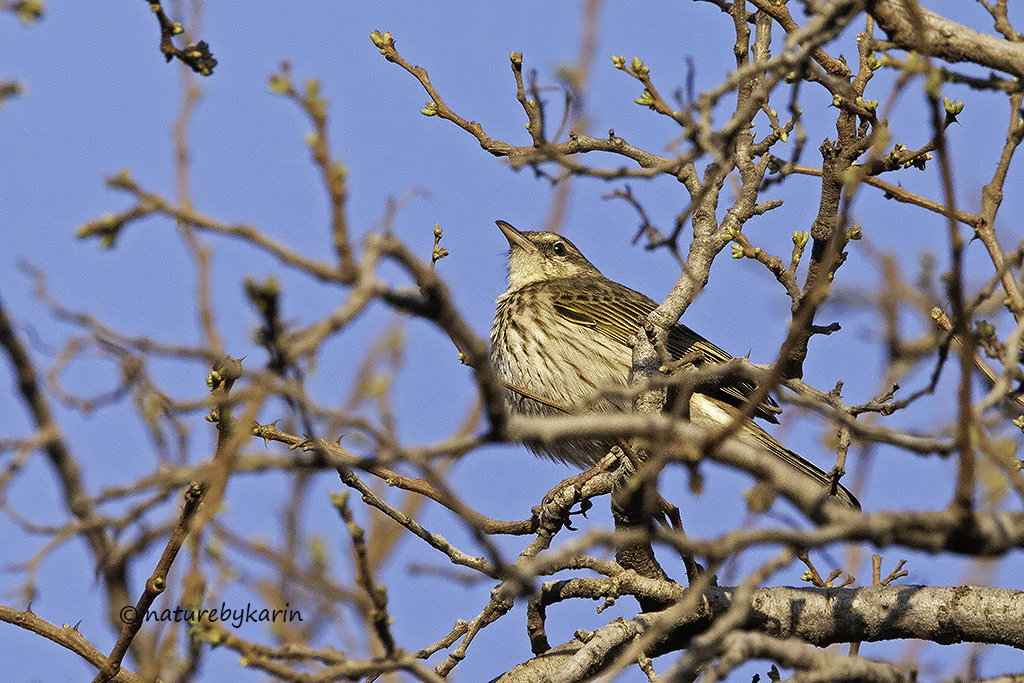 Striped Pipits