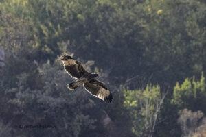 Verreauxs eagle
