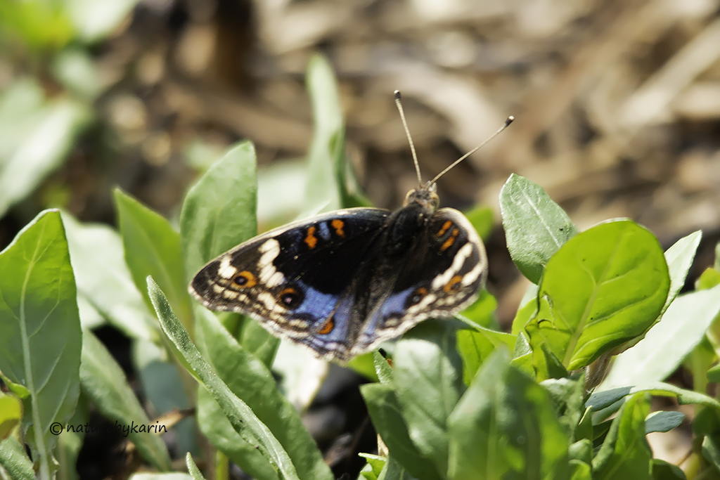 African Blue Pansy