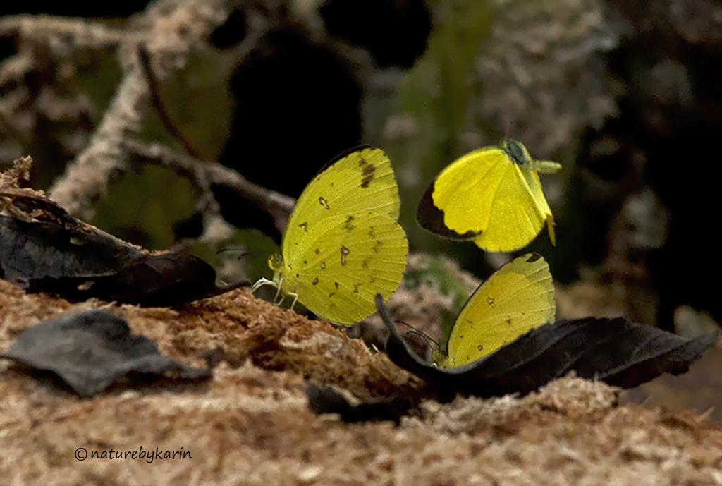Lowveld Grass Yellow