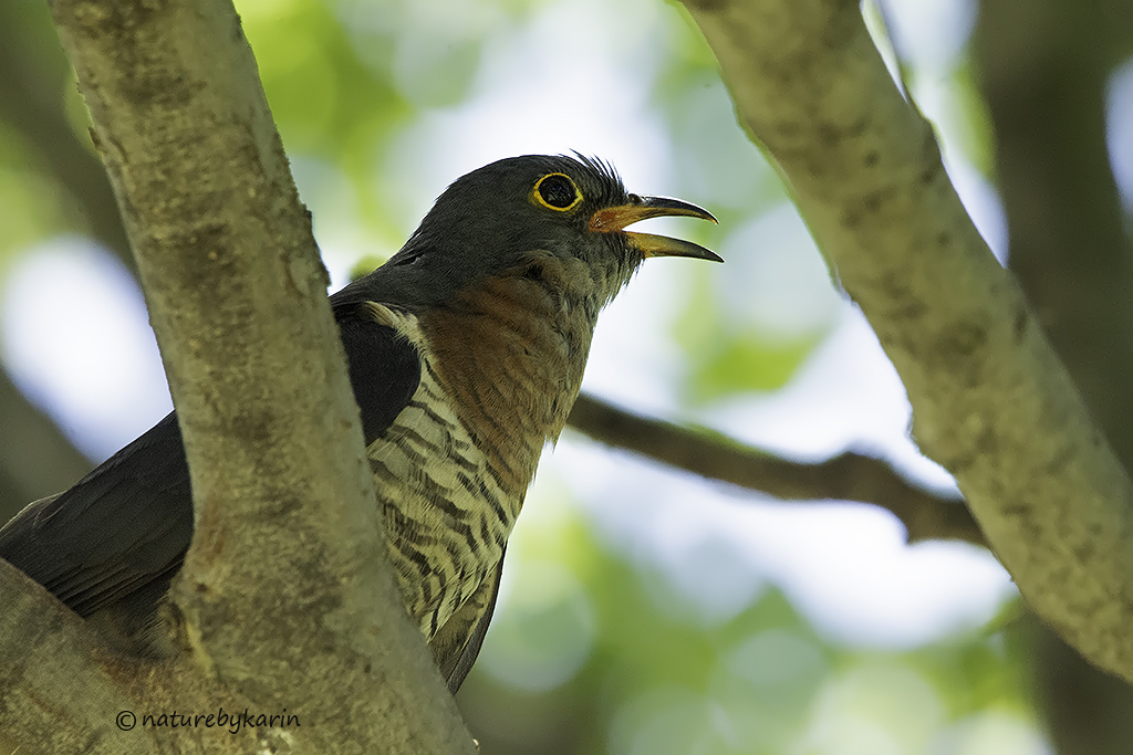 Red Chested Cuckoo