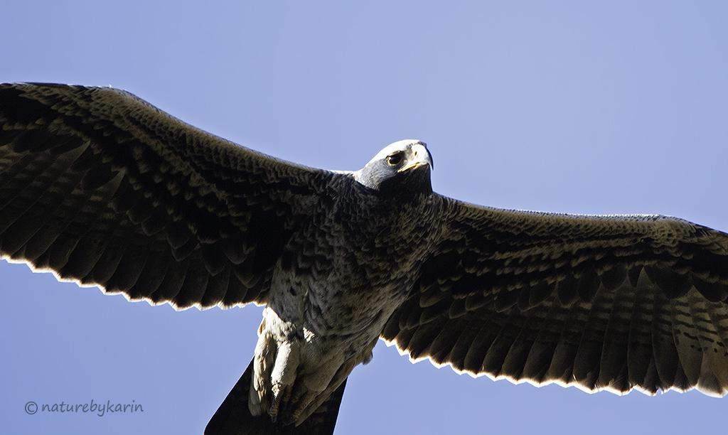 Verreauxs Eagle; Motsumi