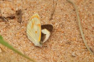 Bushveld Orange Tip
