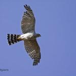 Ovambo Sparrowhawk