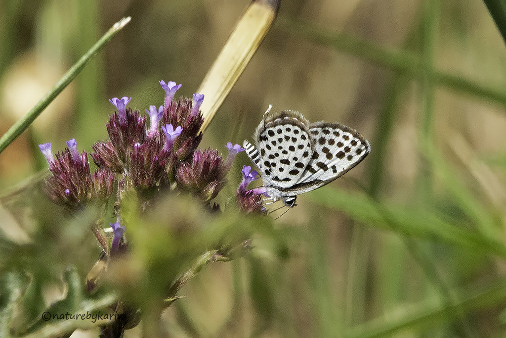 Dotted Pierrot