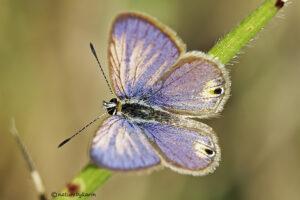Cupreous Ash Blue