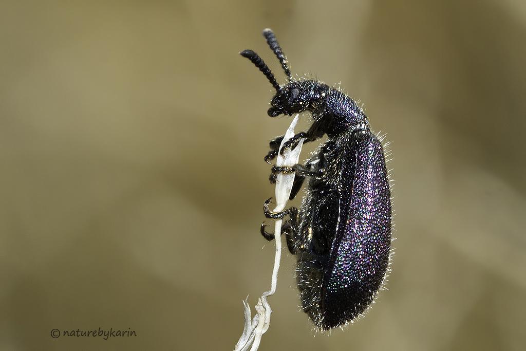 Hairy Darkling Beetle