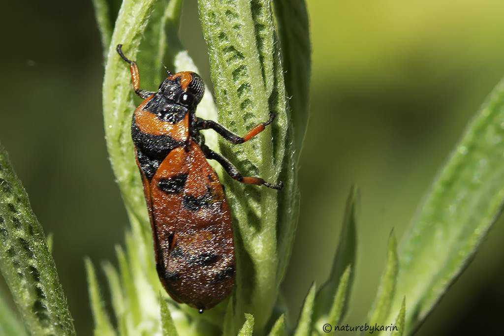 Red Spotted Spittle Bug