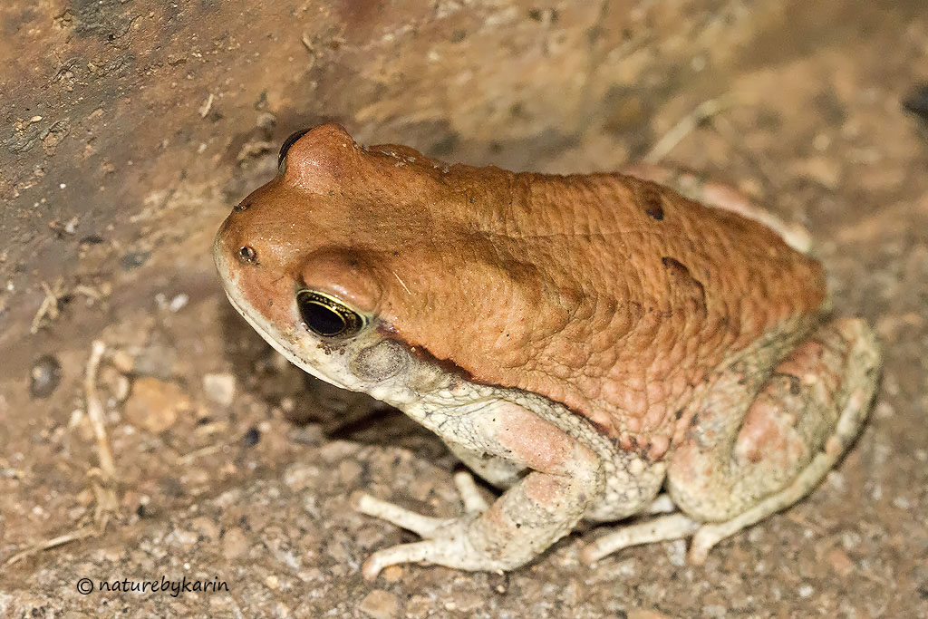 Red Toad