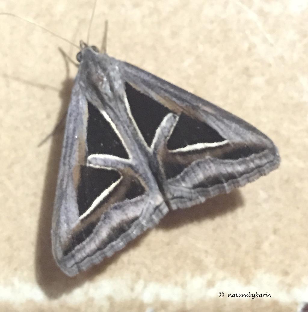 Trigonodes hyppasia Triangle Moth