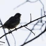 Black Throated Canary