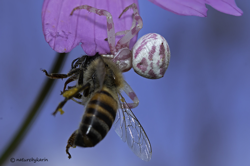 Crab spider with bee