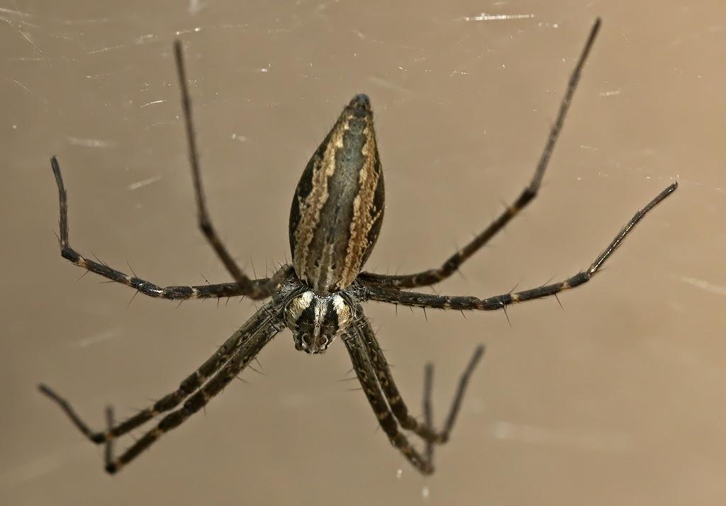 Nursery Web Spider_Euprosthenops