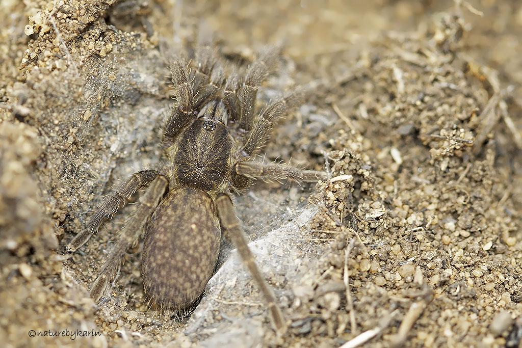 Baboon Spider Harpactira sp