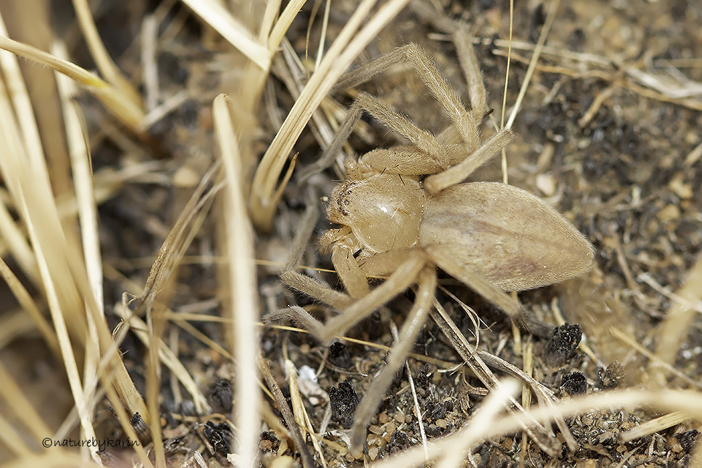 Rock Huntsman Spider
