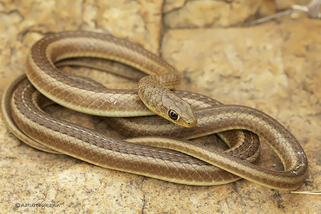 Short Snouted Sand Snake