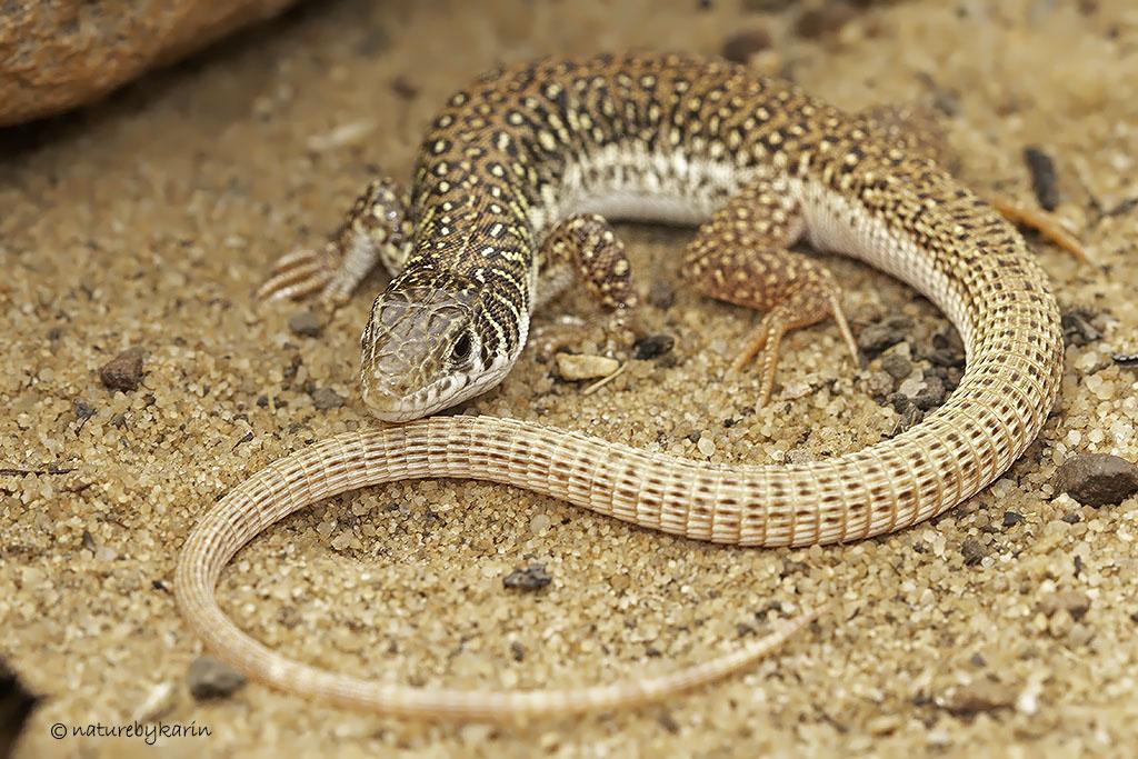 Spotted Sandveld Lizard
